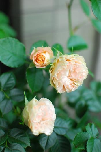 Rose_2_3_4