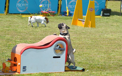 Flyball_pug_5